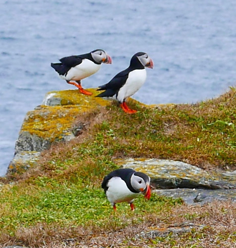 Puffins at Elliston, NL | by kleles