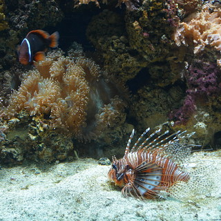 London, England, UK - The Regent's Park - London Zoo - Aquarium - Coral Reef - Lionfish and Clownfish | by jrozwado