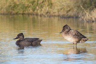 Freckled Ducks | by petefeats