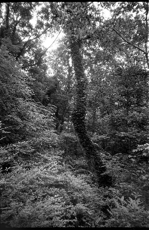 ivy-covered tree trunk, backlit, forest, Community Park at Craggy Park, West Asheville, NC, Olympus XA, Kodak TMAX 400, Ilford Ilfosol 3 developer, 6.18.18
