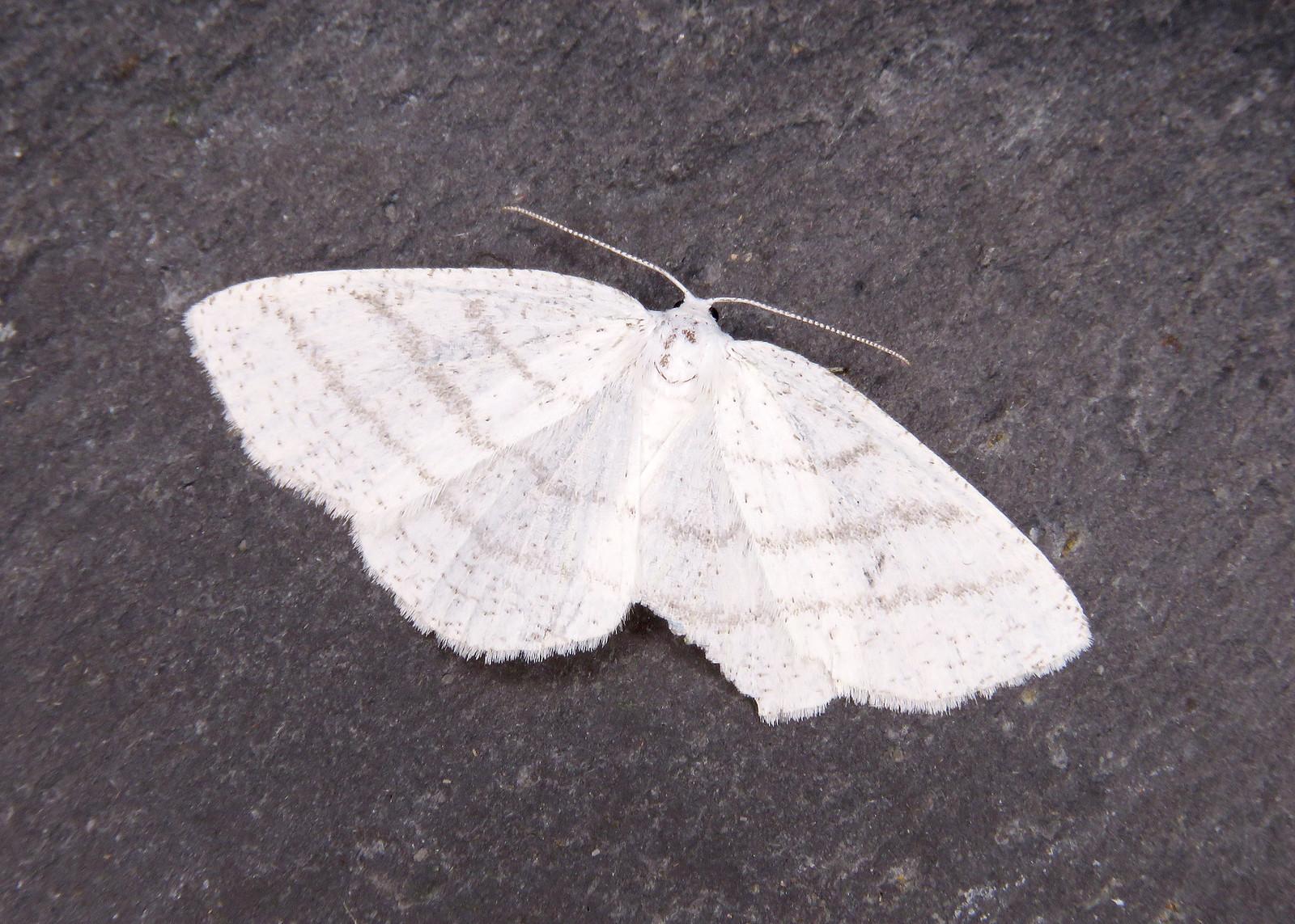 70.277 Common White Wave - Cabera pusaria