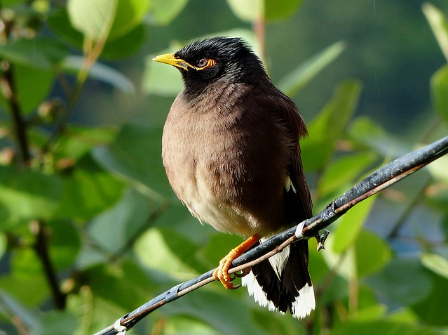 Puffed - Common Myna - in the drizzle - Western Himalayas ~2050m Alt