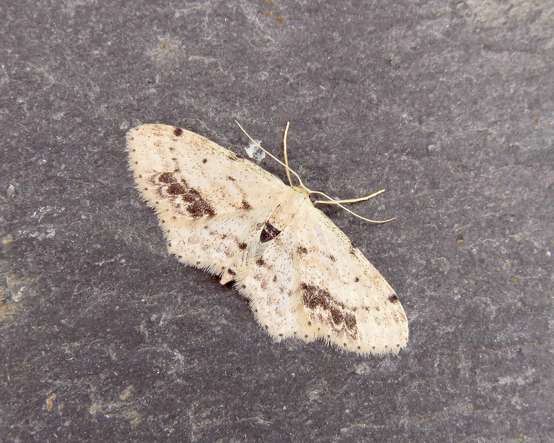 70.011 Single-dotted Wave - Idaea dimidiata
