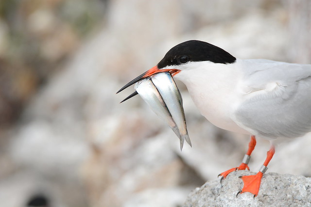 Roseate Tern with two Sprats