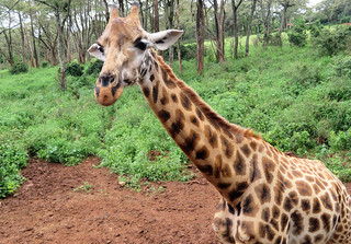 rothschild-giraffe-close | by quirkytravelguy
