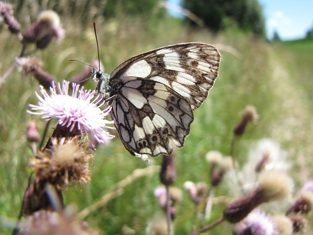 Schachbrettfalter - Marbled white -Melanargia galathea