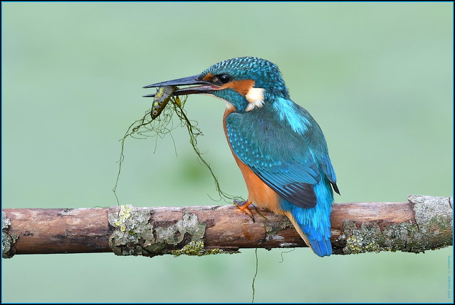 Martin pêcheur d'Europe ( Alcedo atthis )