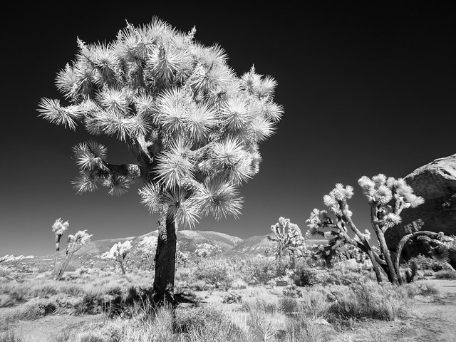 Starlight Tree (Adventures in Infrared)