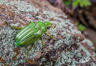 Glorious Green Scarab | by Frank Portillo