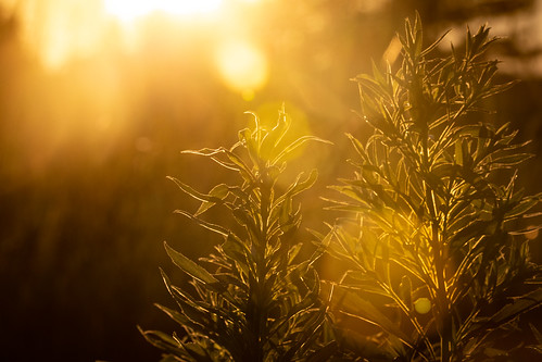 sunset solar weeds field edging glowing glowingleaves summer goldenhour canoneos5dmarkiv
