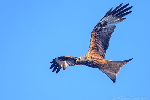 Red Kite ( Milvus milvus )