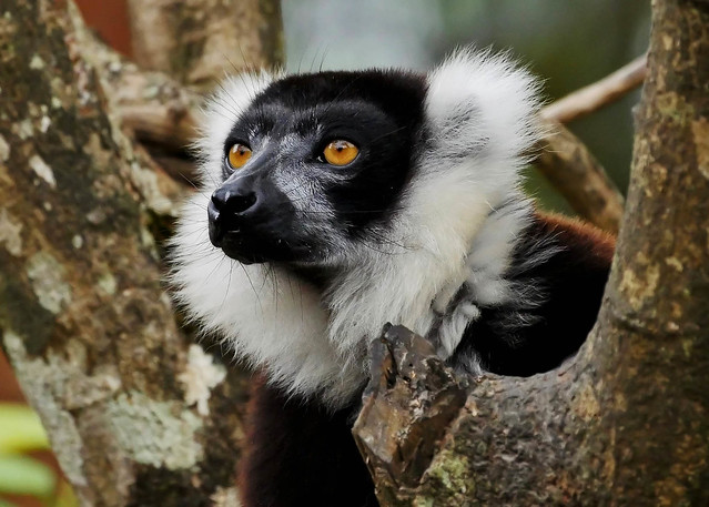 Black and White Ruffed Lemur Portrait (Varecia variegata)