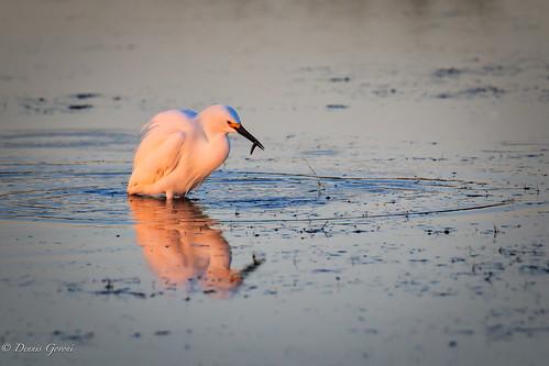 merrittisland action background bird egret florida snowyegret sunrise water wildlife winter