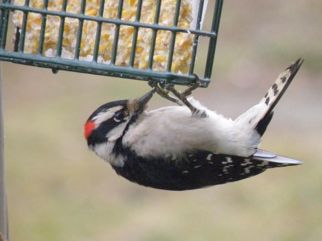 P1133356...downy  woodpecker