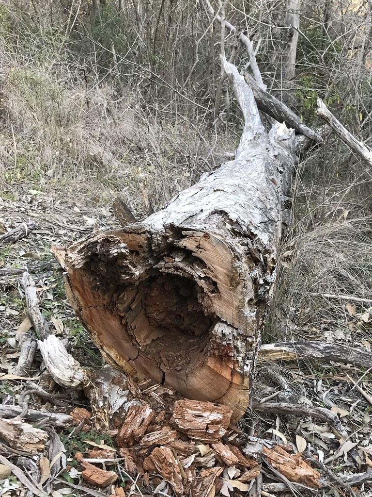 Termites are like cancer .. Australian gumtree - Western Sydney Parklands, Abbotsbury NSW Australia