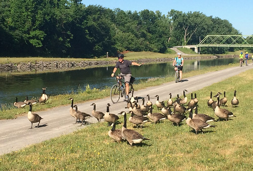 Slow Down! Geese in the road!