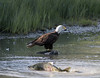 Bald Eagle with Chum Salmon up the creek by Gillfoto