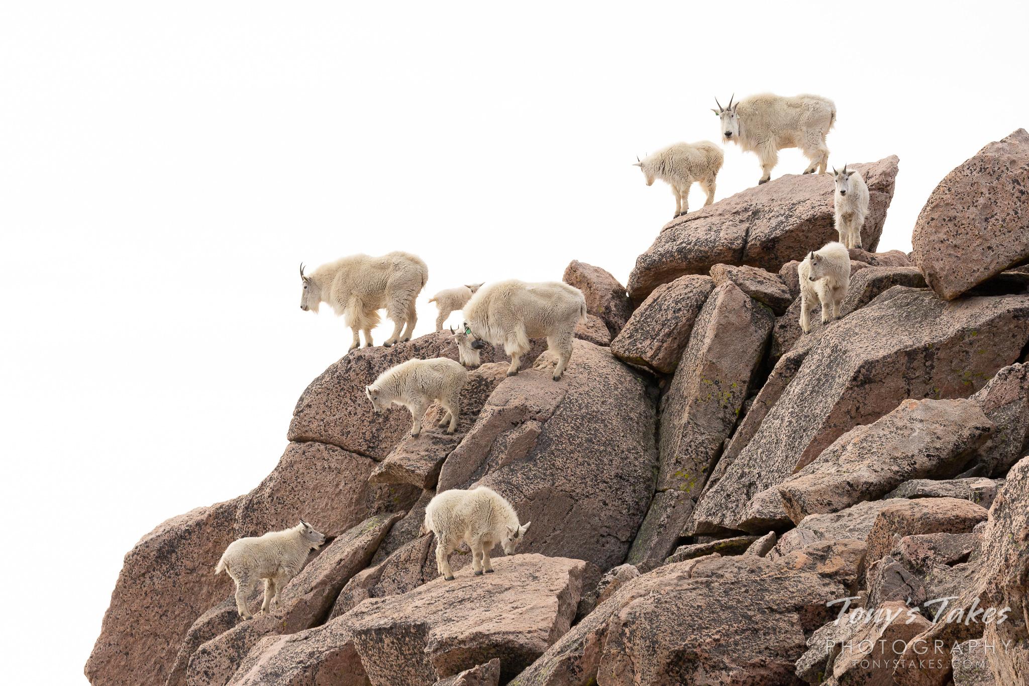 A mountain of Mountain Goats