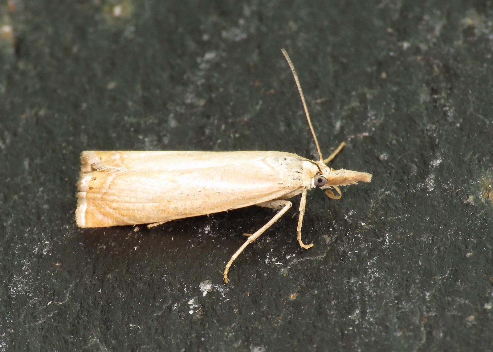 63.080 Chrysoteuchia culmella
