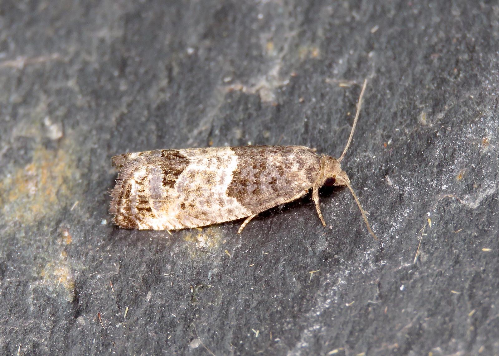 49.224 Bud Moth - Spilonota ocellana