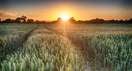 justaddmilk wheatfield wheat sunset shropshire