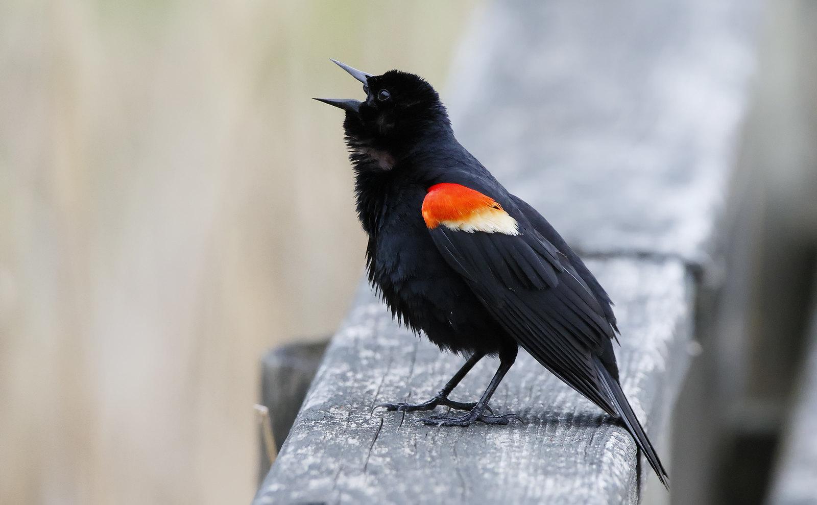 Red-winged Blackbird [male]