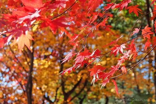 autumn_leaves_closeup | by Sammdaysoon