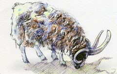 Postcards from the Lunch Bag: Jacob Sheep
