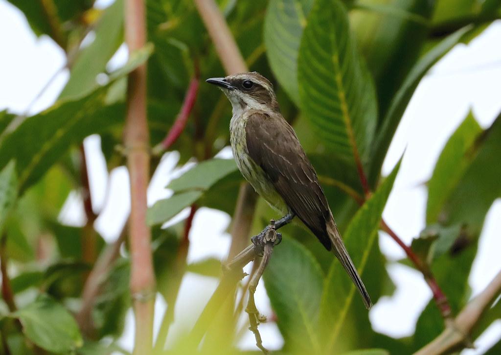Piratic Flycatcher --- Legatus leucophaius