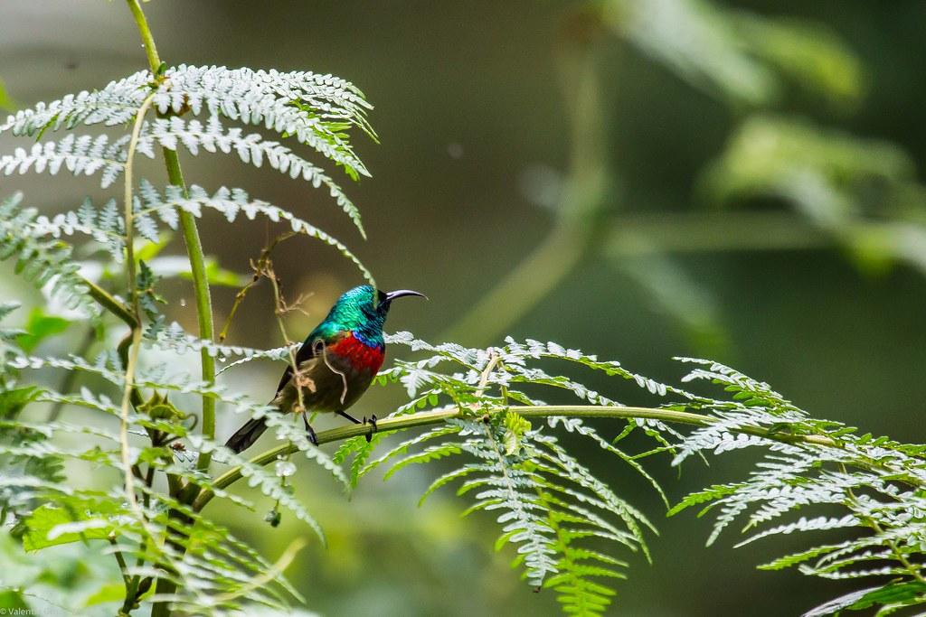 eastern double-collared sunbird 3_Tanzania 2 iul18