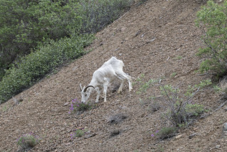 Dall Sheep, Denali NP (DSC_1779) | by peterbryan718