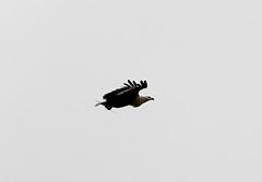 Haliaeetus vocifer (African Fish Eagle)