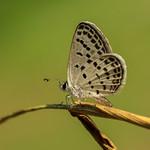 Tongeia filicaudis