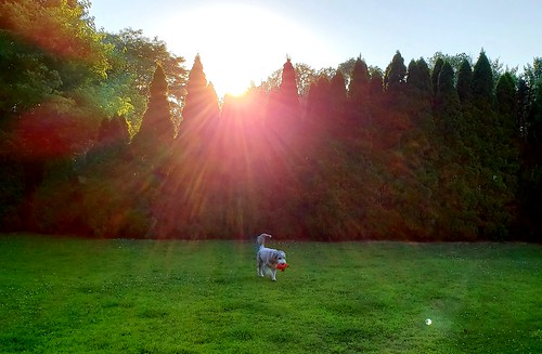 finnigan dog pet sun sunset sundown beardedcollie beardie grass