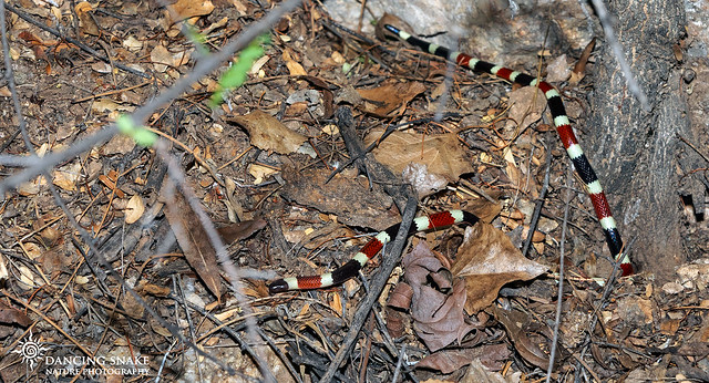 (Explored) Coral Snake ©Dancing Snake Nature Photography