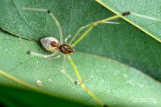 Comb-footed spider (Theridiidae) - DSC_6187