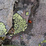 Lichen and Ladybug