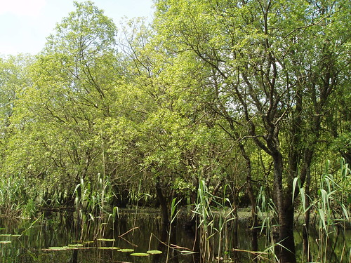 Other wet woodland with willows and reeds. Photo by Micheline Sheehy Skefffington | by Irish Ramsar Wetlands