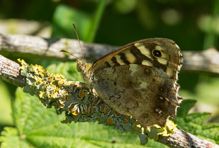 Speckled Wood | by Dibbly Dobbler