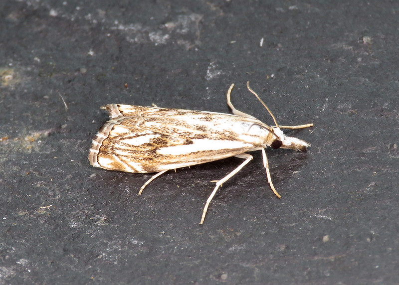 63.102 Catoptria falsella