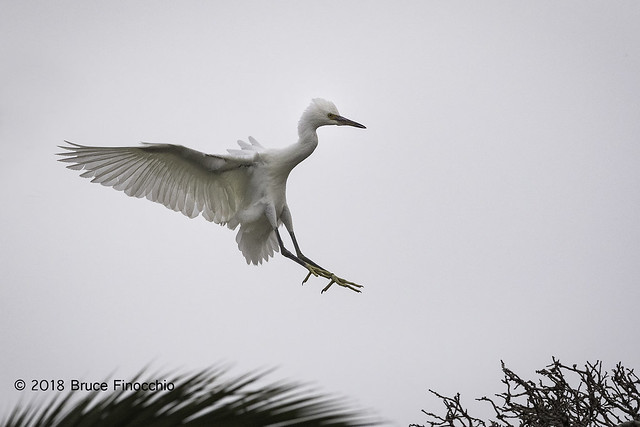 Juvenile Snowy Egret With Wings Back As It Prepares To Land