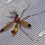 Bunte Kammschnake (Ornate Crane Fly, Ctenophora ornata), Männchen