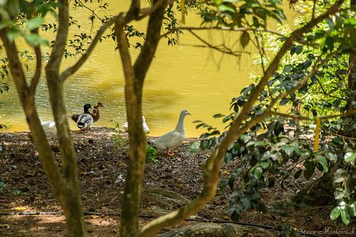 smack53 clemson clemsoncollege southcarolina southcarolinabotanicalgarden trees scenic outside outdoors water summer summertime nikon d3100 nikond3100 birds ducks