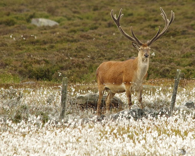 red deer stag peak district in cotton grass 7 july 2018 (12)