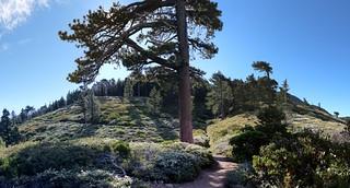 062 Flowering buckthorn and manzanita on the San Bernardino Peak Trail | by _JFR_