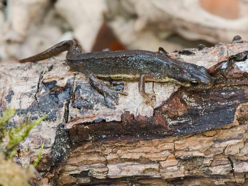 Kleine watersalamander (Lissotriton vulgaris-618_1203