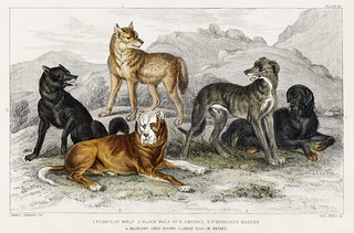 European Wolf, Black Wolf of North America, St.Bernard's Mastiff, Highland Greyhound, and Great Dog of Nepal from A history of the earth and animated nature (1820) by Oliver Goldsmith (1730-1774). Digitally enhanced from our own original edition.