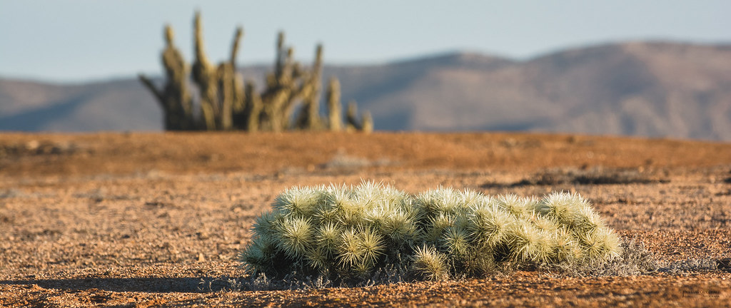 Cylindropuntia tunicata | Cylindropuntia tunicata Oveja echa… | Flickr