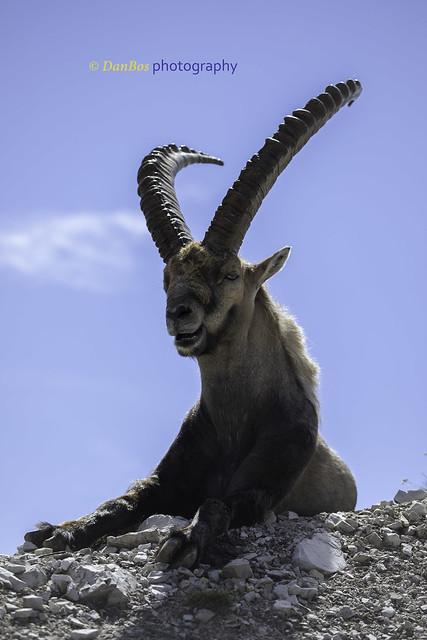 Ibex Portrait