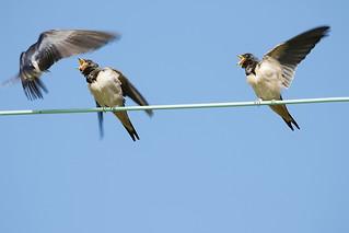 Swallows | by Paul Marfell